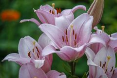 Lily flower in the garden. Shallow depth of field. Close-up. Closeup of pink lilies and green leaves Close-up, flower, background, floral, rose, summer, nature stock photos