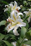 Lily flower garden. White yellow summer blooms Stock Photo