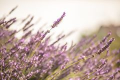 Violet lavender flowers in bloom with blurred background stock images