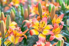 Lily flower and green leaf background in garden at sunny summer or spring day for beauty decoration and agriculture design. Lily Lilium hybrids royalty free stock image