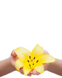 Lily flower held in hands Royalty Free Stock Photo