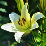 Lily flower Royalty Free Stock Photography