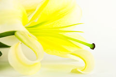 Lily flower isolate on white Stock Image
