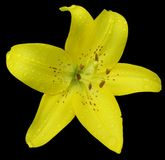 Lily flower isolated Stock Images