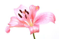 Lily flower isolated Stock Image