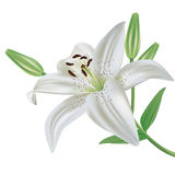 Lily flower isolated on white background. White lily flower realistic, isolated on white background Stock Photography