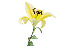 Lily,Flower Isolated on white background.  Stock Photo