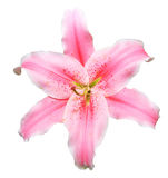 Lily flower Stock Image