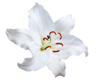 Lily flower isolated on white Royalty Free Stock Images