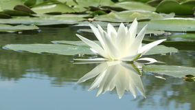 Lily Flower on the Lake stock video footage