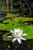 Lily flower in lake water Royalty Free Stock Photos