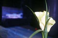 Lily flower in the light decoration close shot set  Royalty Free Stock Image