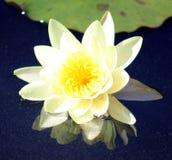 Lily flower loto purple flor de loto beautful colors. In Mexico resort stock photo