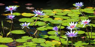Lily flower loto purple flor de loto beautful colors. In Mexico resort royalty free stock photos