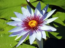 Lily flower loto purple flor de loto beautful colors. In Mexico resort royalty free stock photography