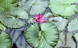 Lily flower loto purple flor de loto beautful colors. In Mexico resort royalty free stock image