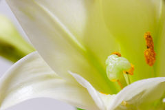 Lily flower macro Stock Photo
