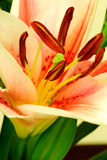 Lily flower macro. Colorful lily flower macro abstract Royalty Free Stock Photography