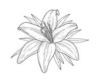 Lily flower monochrome vector illustration. Beautiful tiger lilly isolated on white background. Element for design of greeting car royalty free illustration
