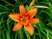 Lily flower. Orange on a background of leaves Royalty Free Stock Images
