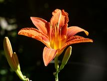 Lily, Flower, Orange Lily, Flora stock photography