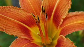 Lily, Flower, Orange, Orange Lily stock photo