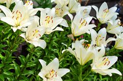 Lily Flower Outdoor Stock Images