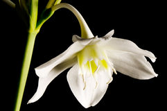 Lily flower over black Stock Photography