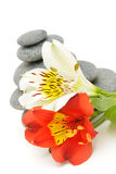 Lily flower and pebble. Stock Photos