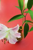 Lily flower on pink background Stock Image