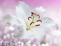 Lily flower on pink background with bokeh effects. Royalty Free Stock Image