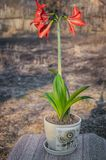 A lily flower, planted in a pot, is ready for transplanting into the open ground. In the courtyard in the sun stock images