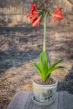 A lily flower, planted in a pot, is ready for transplanting into the open ground. In the courtyard in the sun royalty free stock image