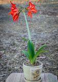A lily flower, planted in a pot, is ready for transplanting into the open ground. In the courtyard in the sun royalty free stock photo