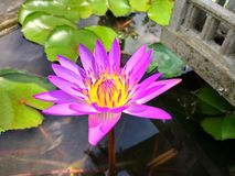 Lily flower. This flower is popular in Vietnam. It is very similar to the flower of Vietnam is the lotus flower, however, the flower petals are longer and Stock Photos