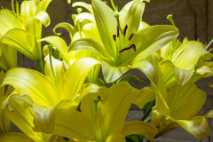 Lily flower. Purity and refined beauty Royalty Free Stock Image