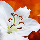 Lily flower on red background with bokeh effects and water splash Stock Photo