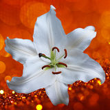 Lily flower on a red background Stock Photo