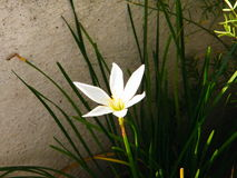 Lily flower. Single white color lily flower Royalty Free Stock Image