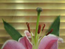 Lily flower stamens Stock Photography