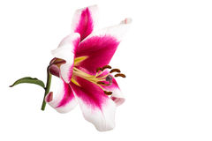 Lily flower with stem isolated on white background Stock Photo