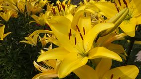 Lily flower.Black background. stock video footage