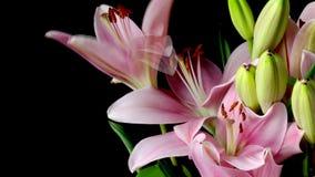Lily Flower Timelapse asiática cor-de-rosa video estoque