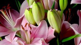 Lily Flower Timelapse asiática rosada almacen de video