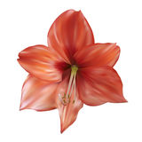 Lily flower. Stock Photo