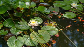 Lily flower on the water surface stock video footage