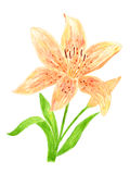 Lily Flower Watercolor Hand Drawn. And Painted, Isolated on White Royalty Free Stock Photography