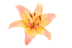 Lily flower on white Stock Photos