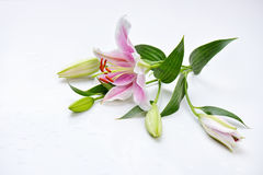 Lily flower on white background with drops Royalty Free Stock Photo