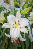 Lily flower of white color bloom. Stock Image